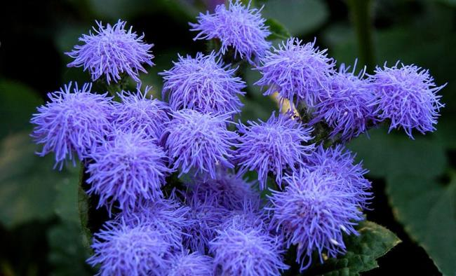 Ageratum Blue Perfection