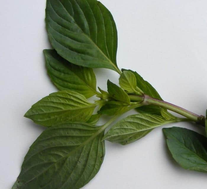 Фото сорваного растения Базилика