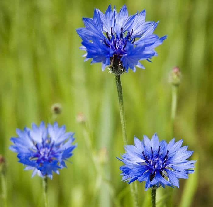 Фото синего василька