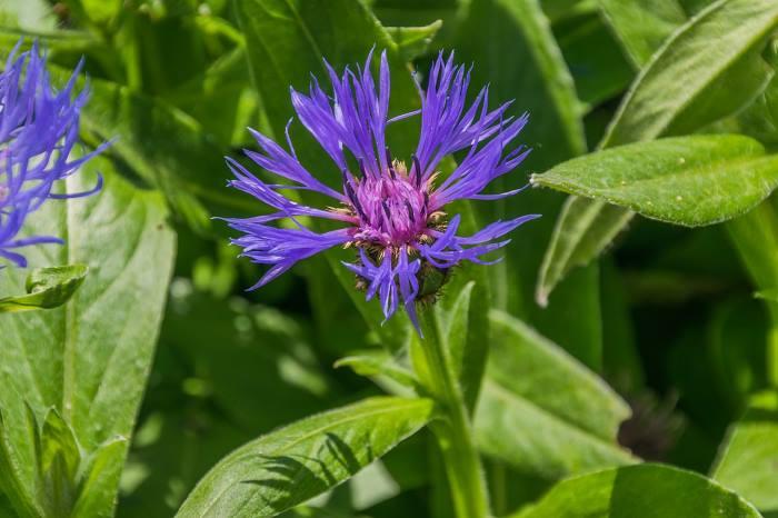 Цветок Василек горный