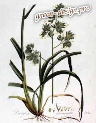 Растение Ежа
