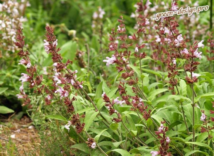 фото растения шалфей лекарственный (Salvia officinalis)