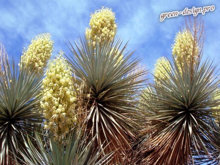 Юкка славная (Yucca gloriosa)