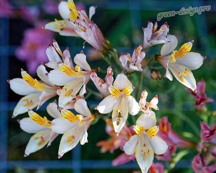 фото цветы Альстромерия или Перуанская лилия