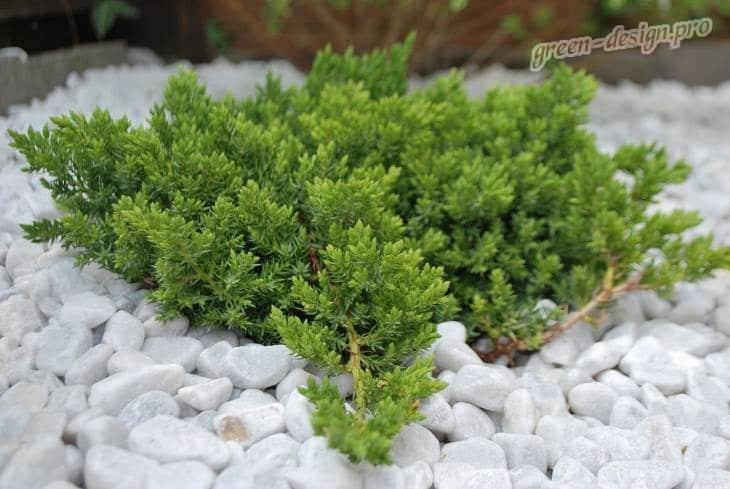 Можжевельник лежачий (Juniperus procumbens 'Nana')