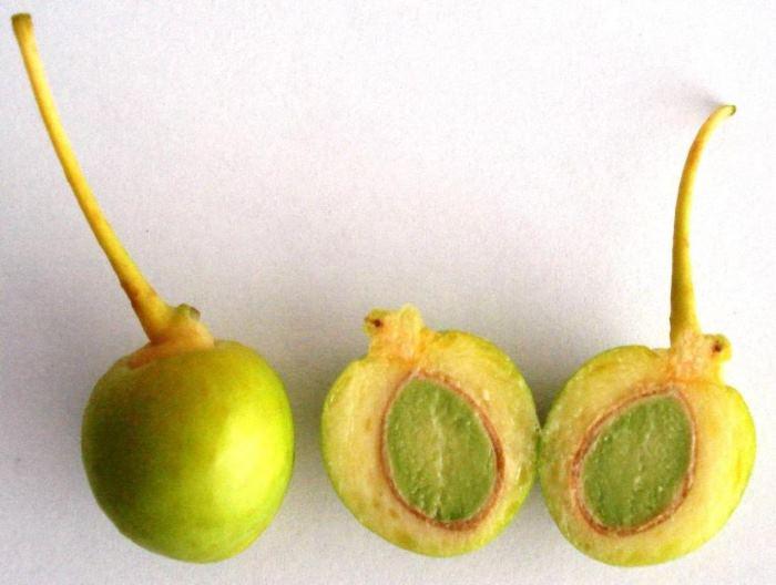 Фото плодов Гинкго двулопасного