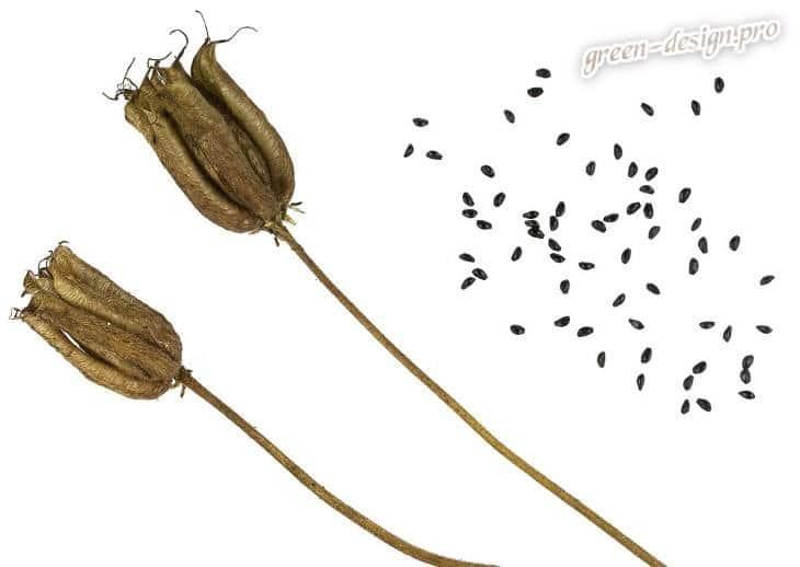 Семена водосбора