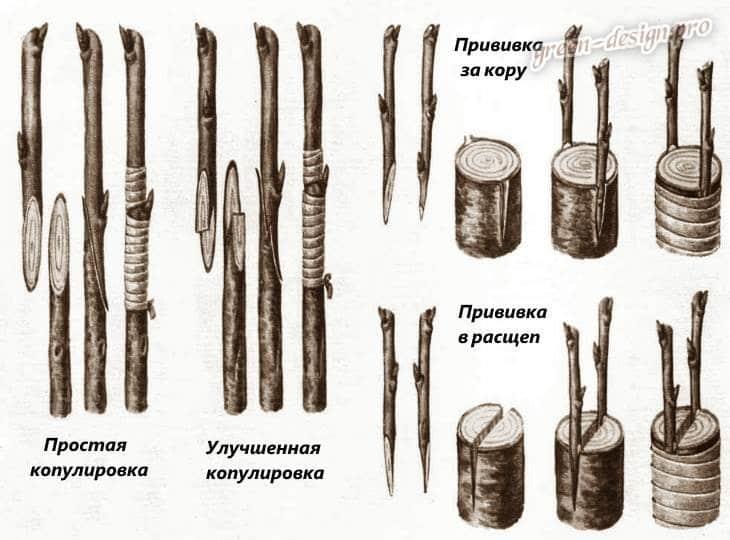 Методы прививки садовых деревьев
