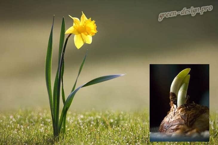 Посадка нарциссов весной