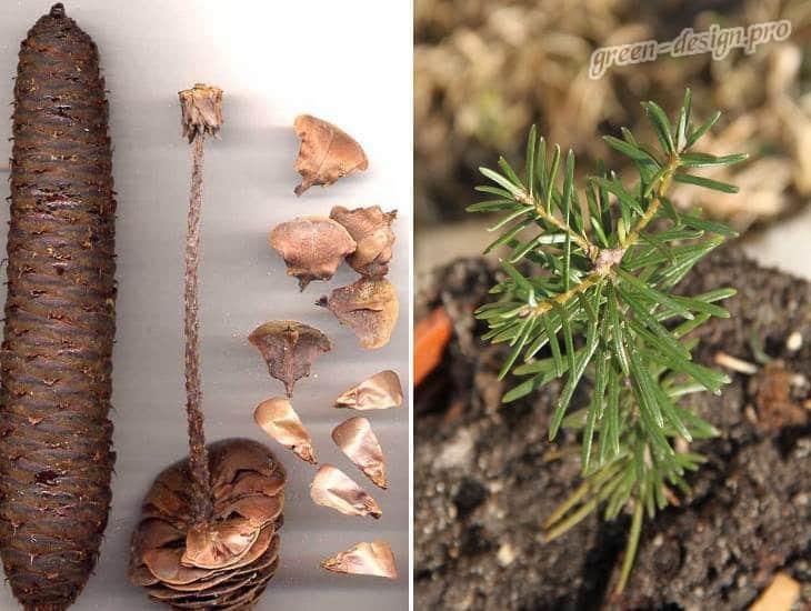 Семена и саженец пихты