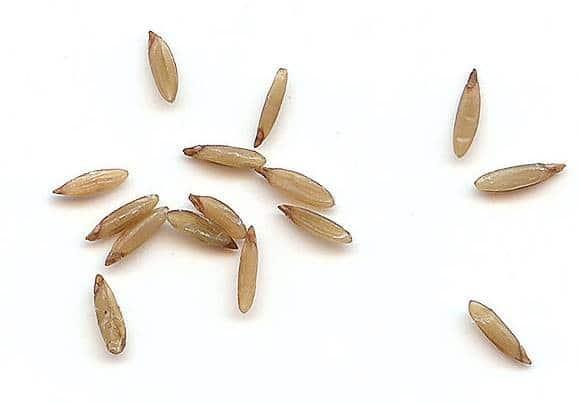 Семена Лагуруса