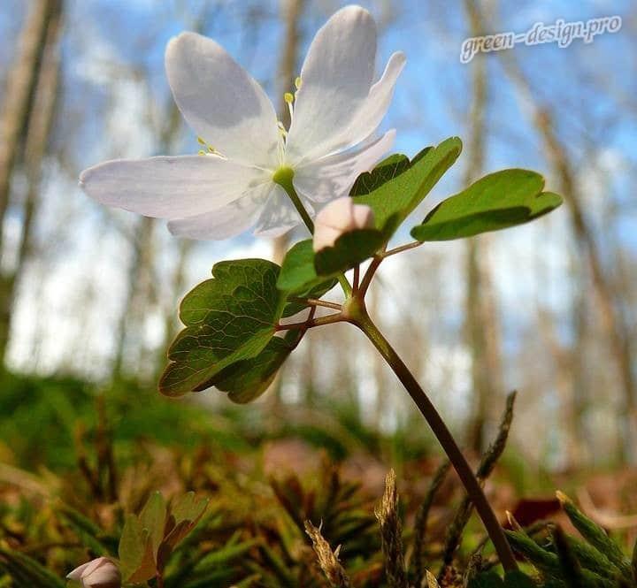 Анемона весной