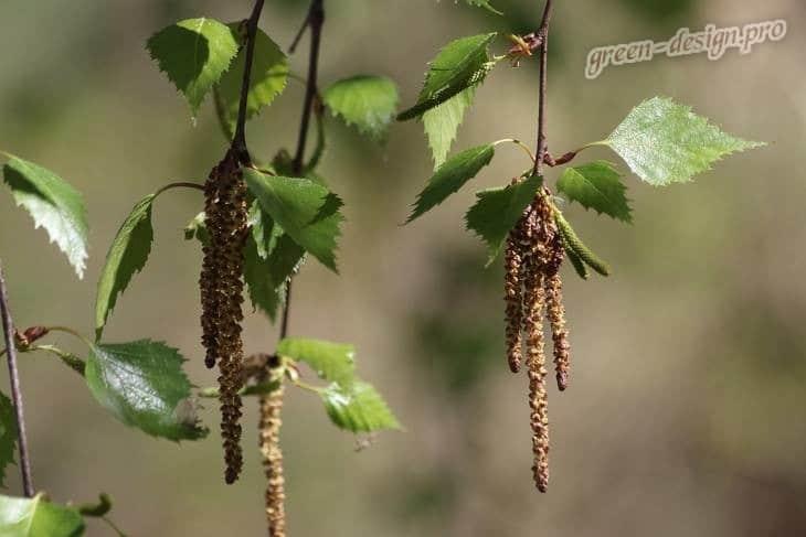 Семена березы