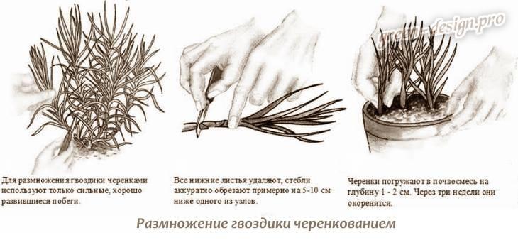 Размножение гвоздики черенкованием