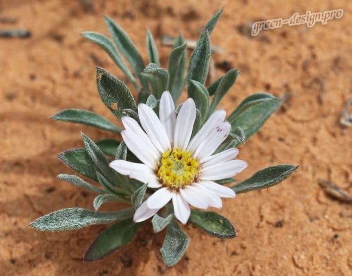 Тоунсендия седая (Townsendia Incana)
