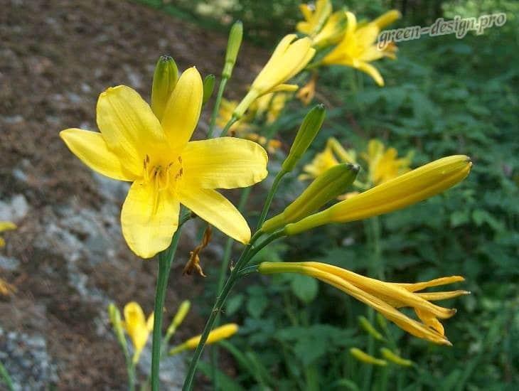 Желтый лилейник (Hemerocallis lilioasphodelus)