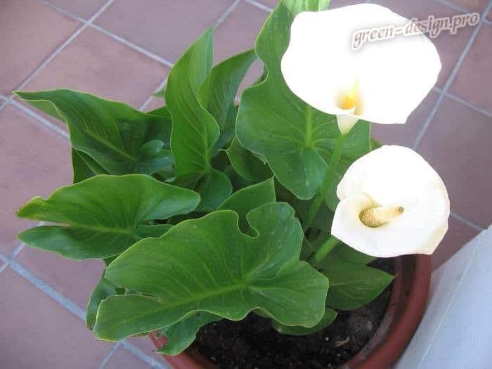Калла эфиопская (Zantedeschia aethiopica)