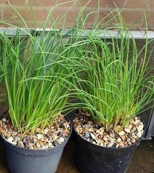 Выращивание пряных трав в горшках: Шнитт-лук