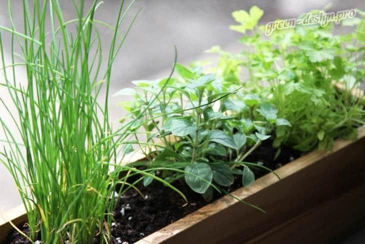 Преймущества выращивания пряных трав в горшке