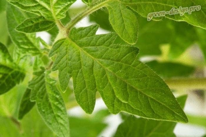 Натуральные пестициды для сада: томатная ботва