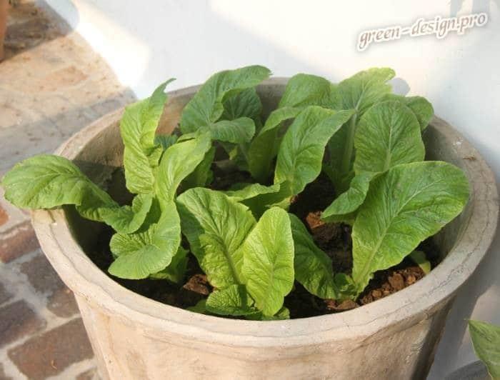 Выращивание шпината на открытом пространстве