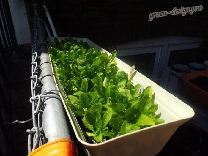 Выращивание шпината в горшке на подоконнике