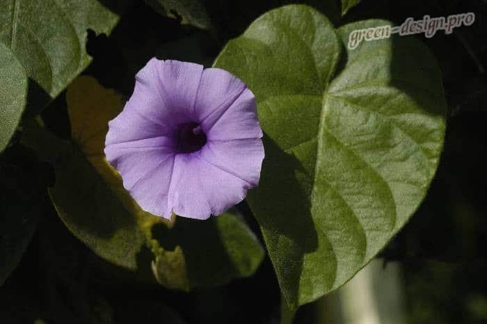 Фото Ипомея голубая (Ipomoea violacea)