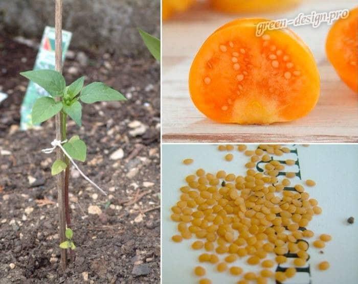 Физалис: выращивание из семян