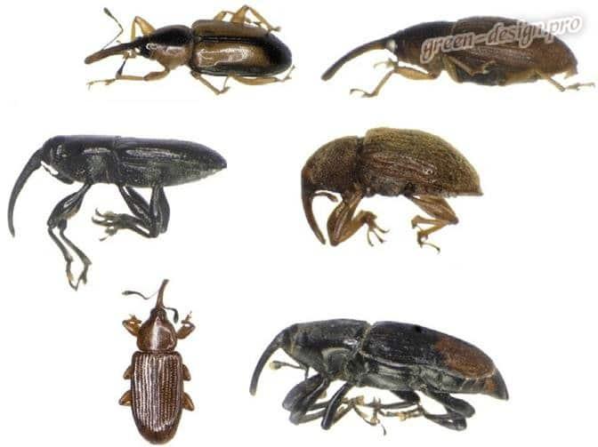 Жуки долгоносики - вредители растений