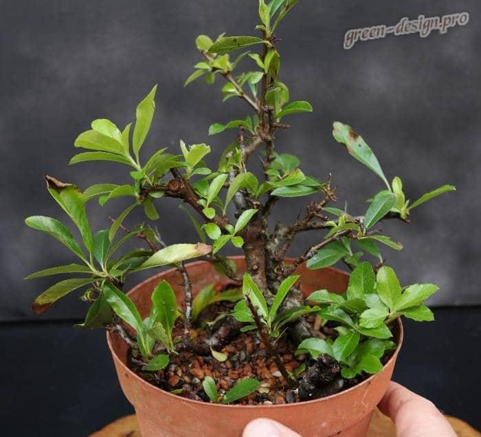 Выращивание и уход за пиракантой