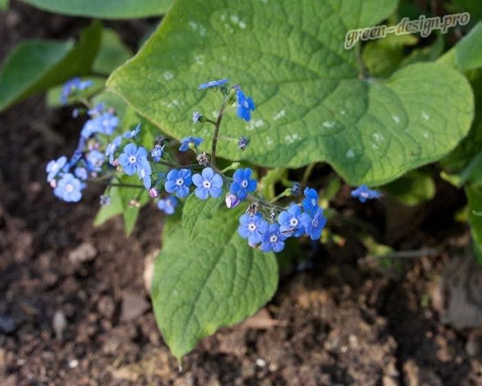 Ранние многолетние цветы: Бруннера