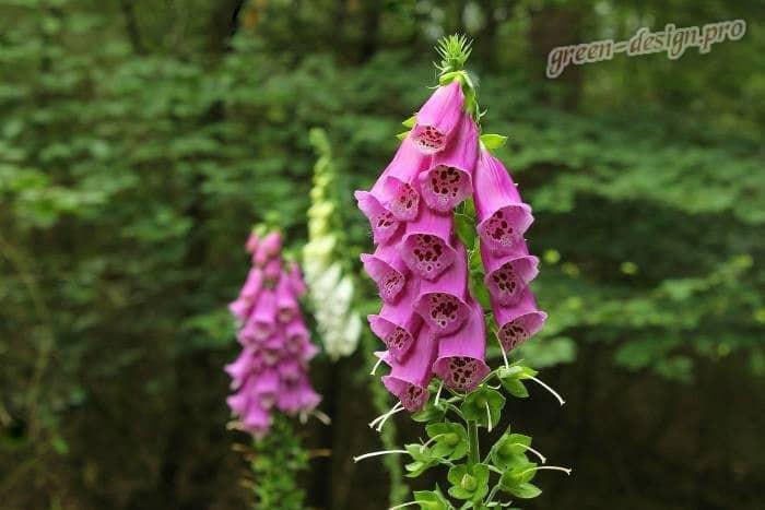 Многолетние тенелюбивые цветы: Наперстянка
