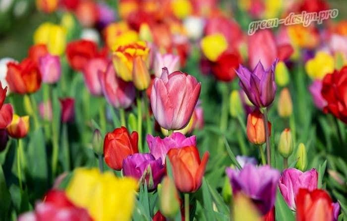 Многолетние луковичные цветы: тюльпаны