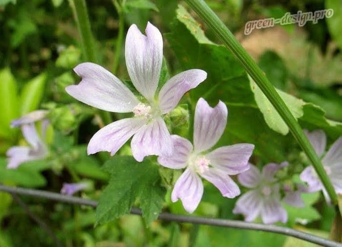 Цветок лаватера критская