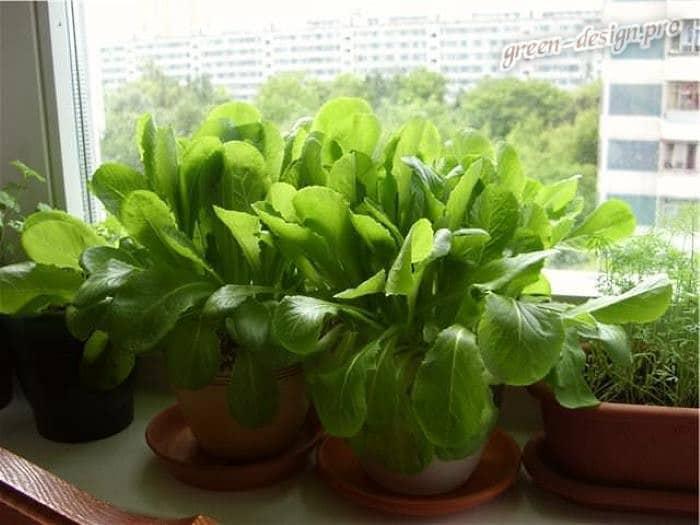 Выращивание зелени шпината на подоконнике