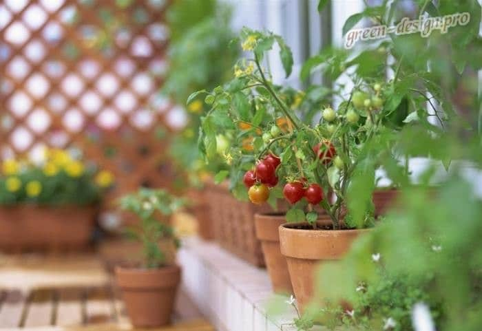 Выращивание помидоров на балконе: сорт черри