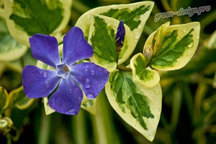 Барвинок пестролистный (vinca minor variegata)