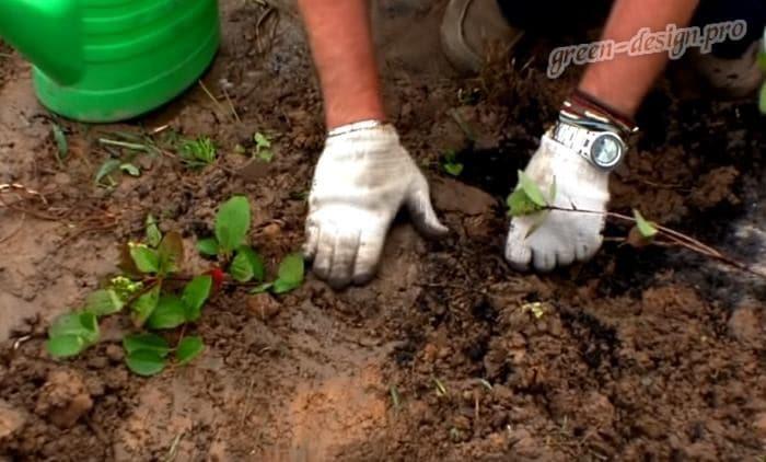 Вегетативный метод размножения черноплодной рябины
