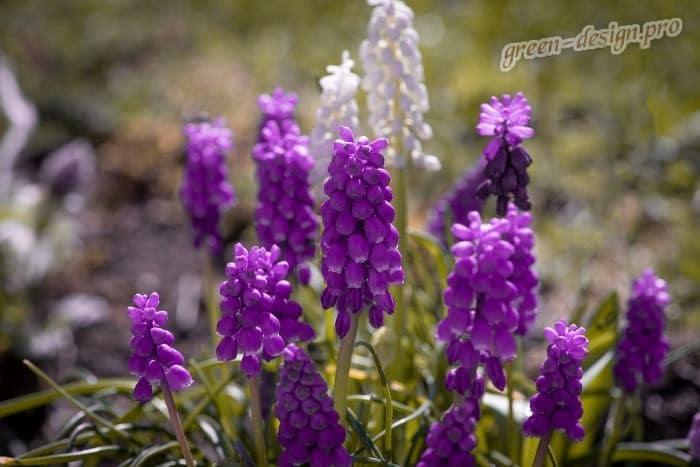 Фиолетовые многолетники в саду: мускари