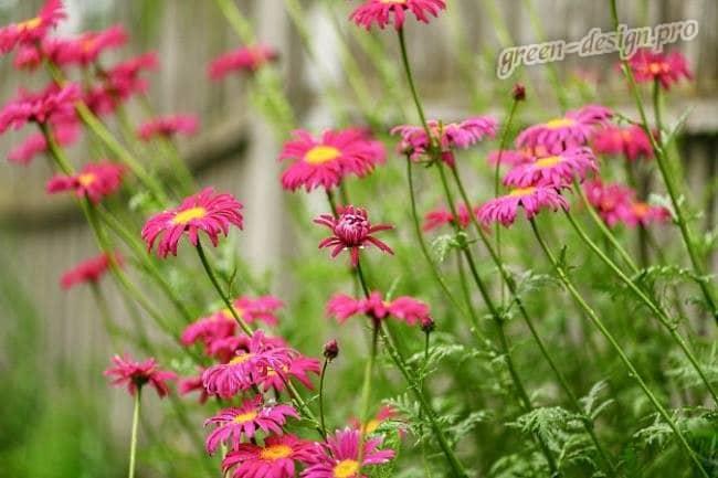 Бордюрные цветы: Пиретрум