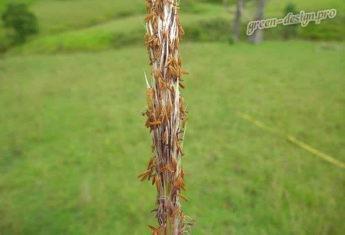 Семена императы цилиндрической Ред Байрон