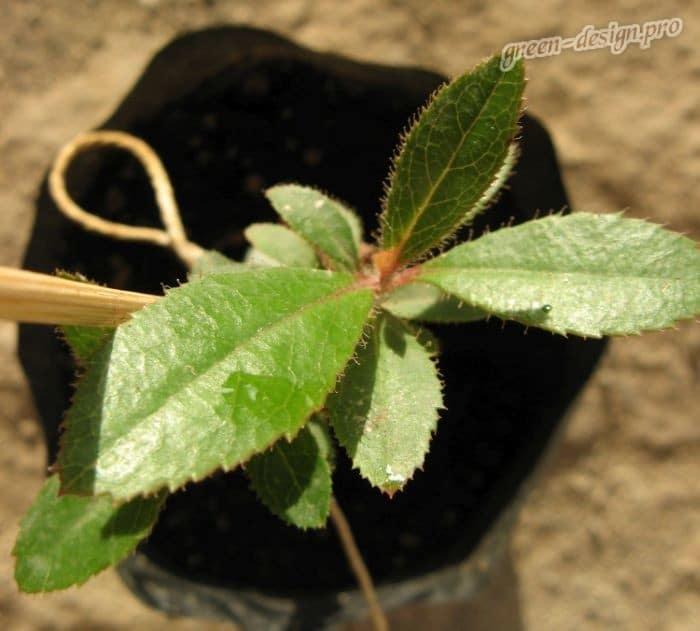 Земляничное дерево: размножение семенами