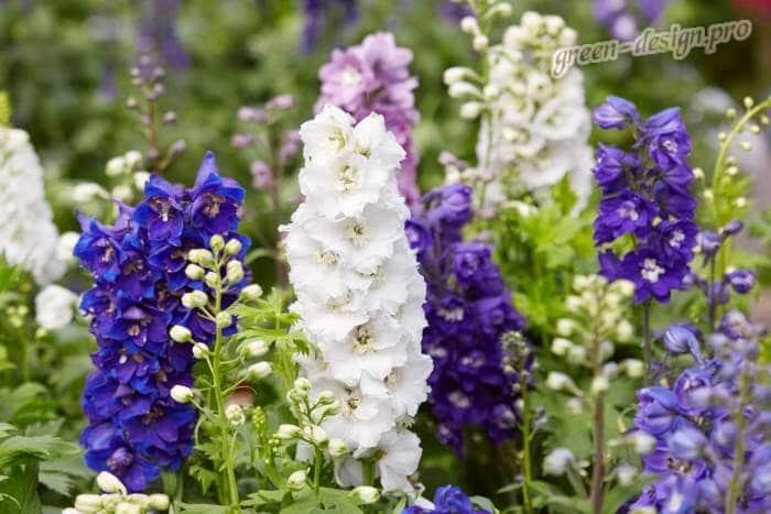 Высокие цветы многолетники Дельфиниумы