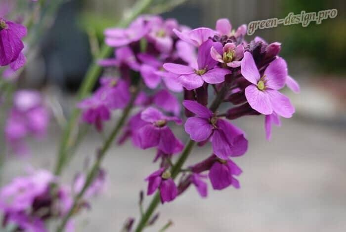 Цветение маттиолы двурогой