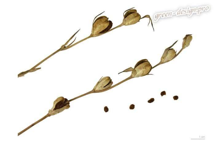 Фото семян гладиолуса