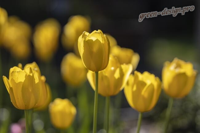 Желтые цветы многолетники - тюльпаны