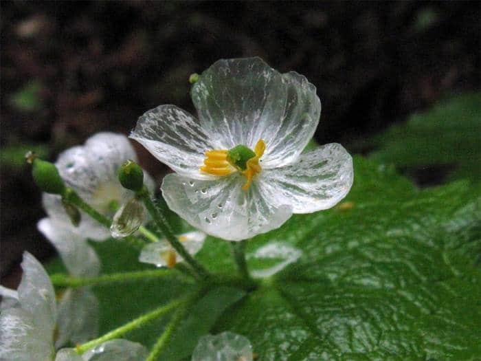 Фото цветков Двулистника Грея после дождя