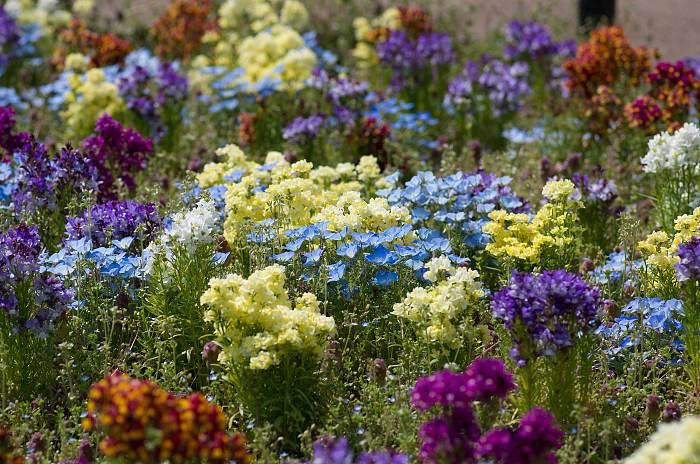 Фото цветка Немофила на клумбе