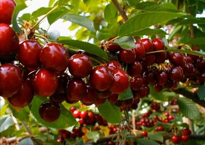 Фото ягод на Дюке чудо вишне