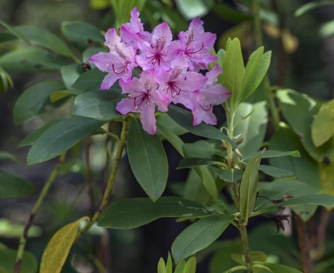 Растение Багульник крупнолистный (Ledum macrophyllum)